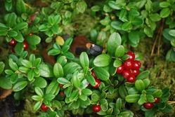 Витамины из леса, сада и огорода