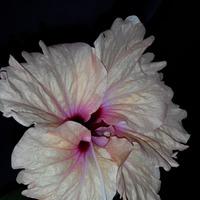 Цветут гибискусы.