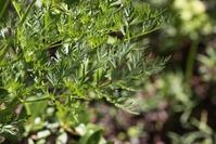 Выгонка зелени тмина