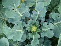 Доращивание цветной капусты осенью