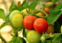 Комнатный помидор: особенности выращивания