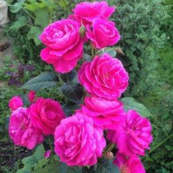 Кукарача снова вышла на тропу выращивания роз из черенков!
