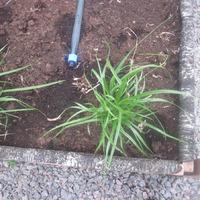 Чуфа = (Cyperus esculentus) =Сыть съедобная
