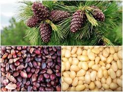 Несколько полезных свойств кедровых орехов