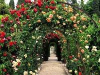 Чем болеют вьющиеся розы?