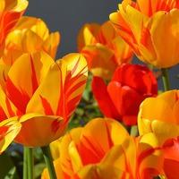 Древняя наука выращивания тюльпанов