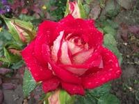 Сажаем розы из букета