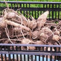 Как сохранить корни георгинов зимой?