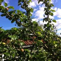 Хвастик яблочный