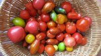Мой урожай томатов в ОГ 2017