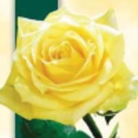 Мой хвастик розы Казанова