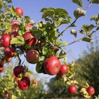 Как осенью привить яблоню