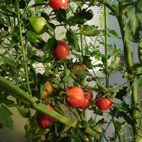 Перец фаршированный... помидором)))