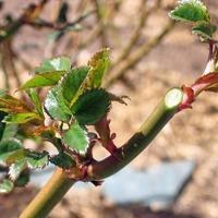 Розы весной: снятие укрытия, обрезка