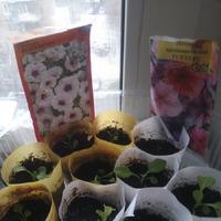 Мои выводы о выращивании петуний и качестве покупных семян!