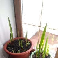 Гладиолусы: первый опыт выращивания в вазонах