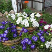 Чита 2018. Посевная, цветы. Отчет или польза прищипывания. Часть 2.