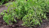 Переселение рассады томатов в открытый грунт