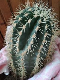 Помогите определить кактус
