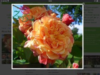 Где купить розы в Европе?