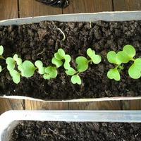 Посадила капусту на рассаду и теперь не знаю, что с ней делать.