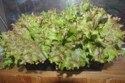 """Как вырастить листовой салат """"Ред Коралл"""" на подоконнике."""