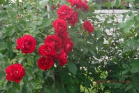 Розы, розы - наша любовь и наша печаль.