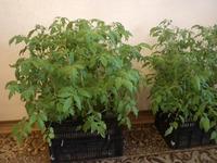 Мои апрельские посадки томатов
