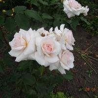 Розы этого лета
