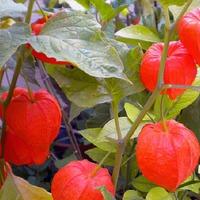 Физалис, ягоды в капюшоне