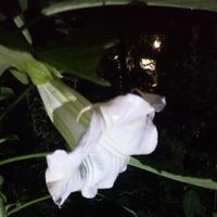Бругмансия в моем саду