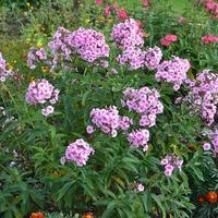 Нежное цветение августа