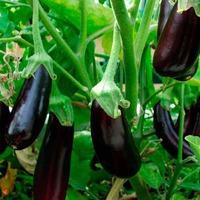 Почему урожай баклажанов не радует?