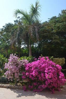 Бугенвиллея, быстрорастущая и живописная