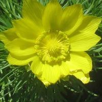 Два целительных растения с жёлтыми цветками