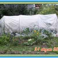 Наш первый урожай баклажанов.