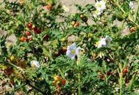 Выращивание колючих томатов