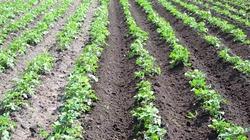 Сидераты для картофеля - нужны ли и зачем?