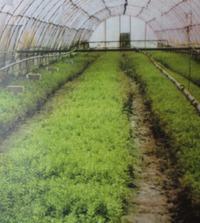 Зеленое черенкование дважды за сезон