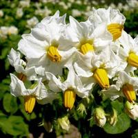 Стоит ли обрывать картофельные цветки?