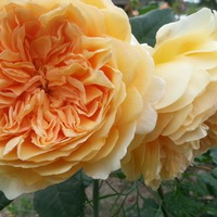 Английские розы Дэвида Остина.
