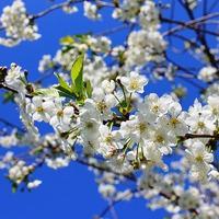 Почему обильно цветущая вишня не дает плодов?