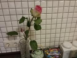 Можно ли укоренить черенок розы?