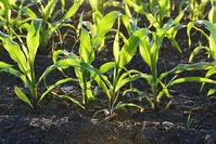 Кукуруза. Правильная агротехника.