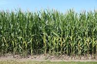 Кукуруза. Характеристика и условия произрастания.