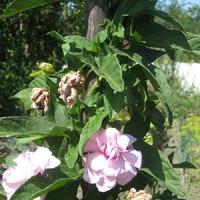 Удивительный цветок из Франции в наших садах.