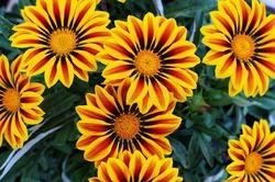Гацания – солнечный цветок