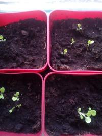 Моя тысячапервая попытка вырастить рассаду!