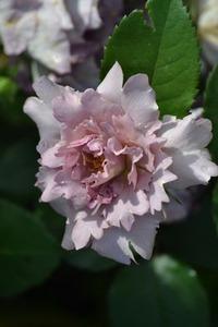 Японские розы: иметь или не иметь