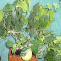 История моего экзотического растения